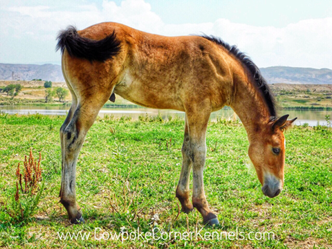 Wyoming-bucking-horse-colt 8828